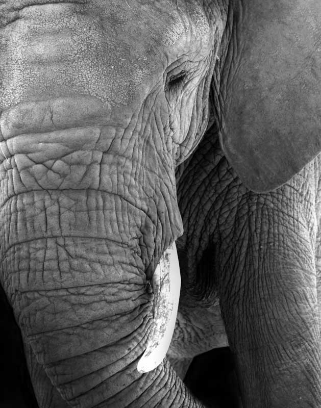 Shadows of the Zoo - African Elephant
