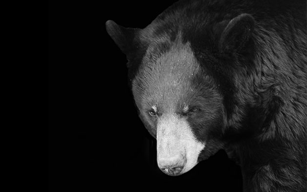 Shadows of the Zoo - Black Bear